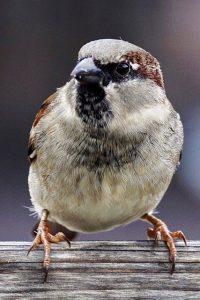 sparrows-2759978_19202